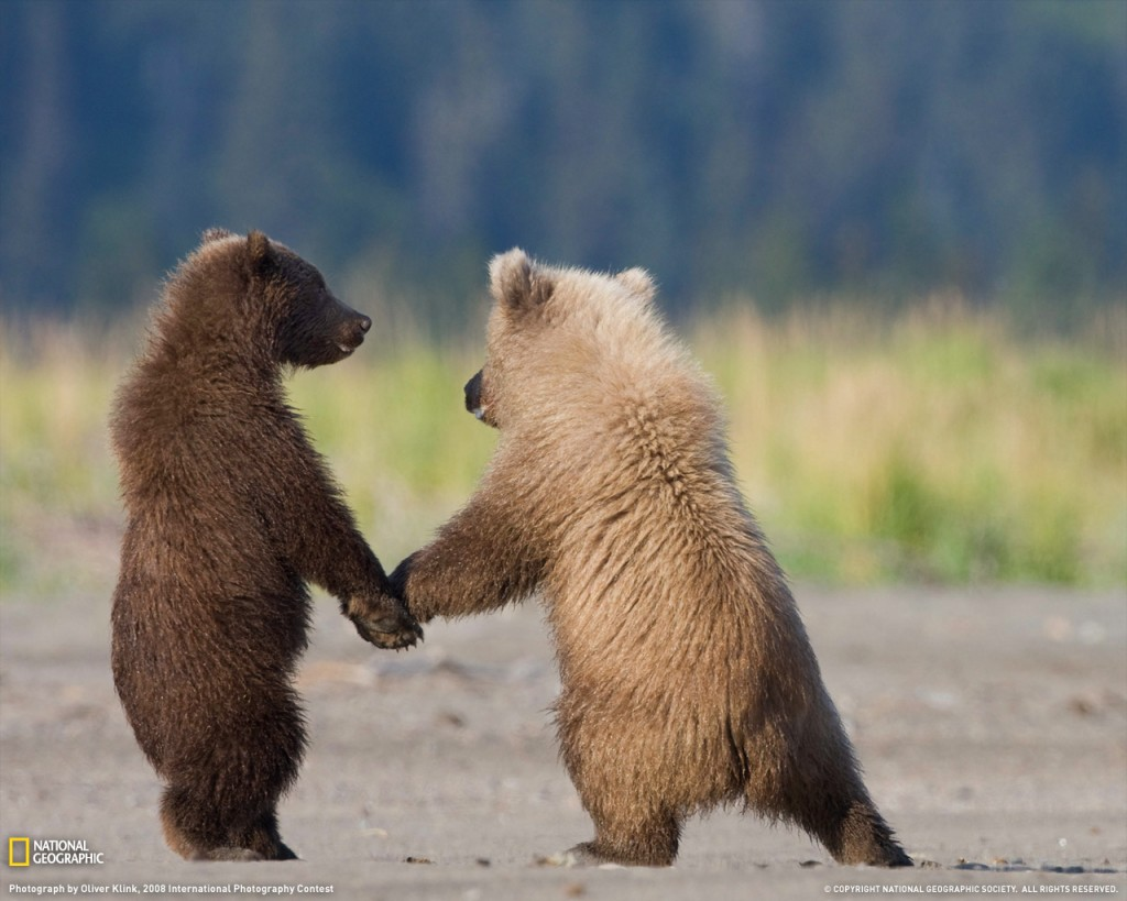 Grizzly bears holding hands